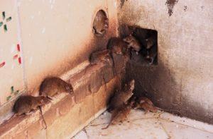 Mehrere Ratten auf einer Mauer