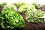 salatköpfe in erde