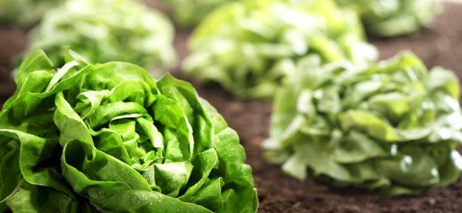 Salat ernten: Morgens oder Abends? Das sollten Sie bei der Ernte beachten!