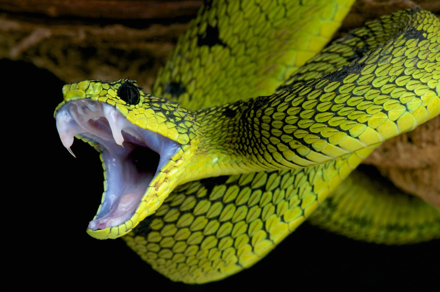 Sollte man einen Schlangenbiss aussaugen?