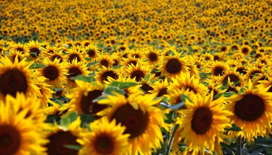 Wenden sich Sonnenblumen immer der Sonne zu?