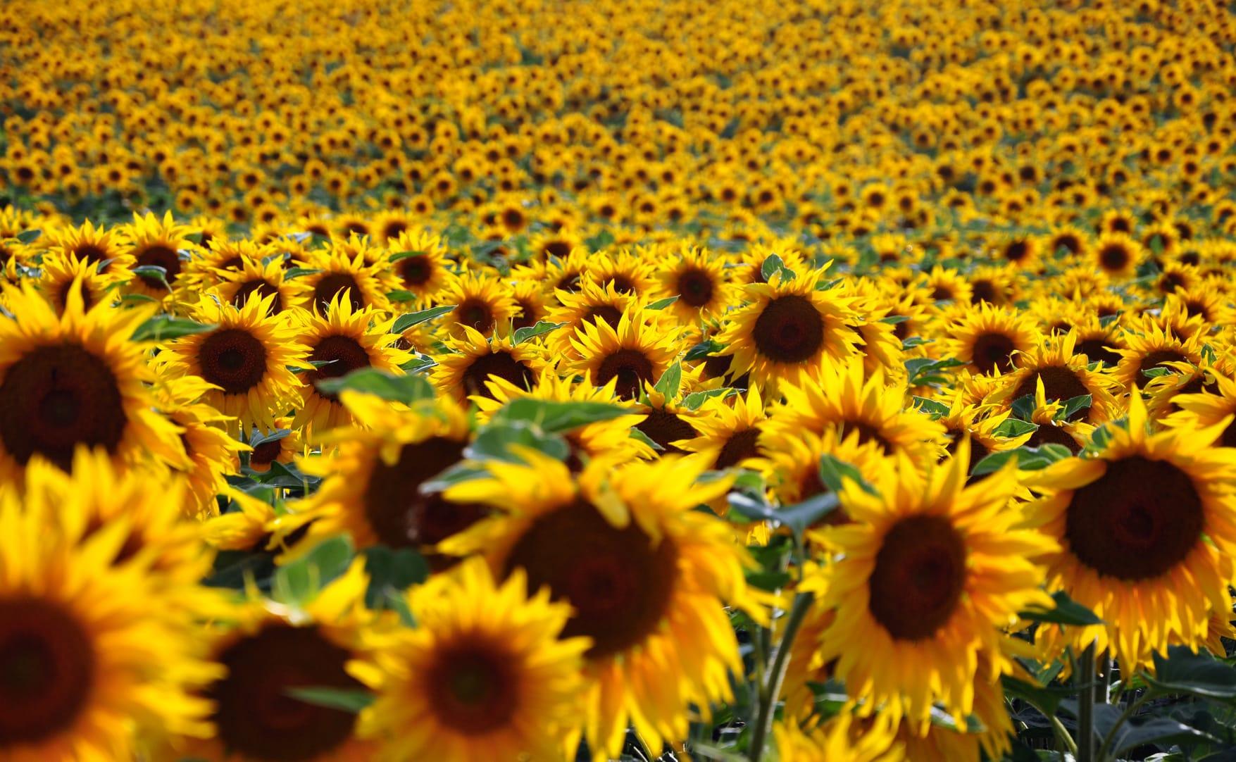 Sonnenblumen & Pflanzen kaufen - Siegen, Wissen, Olpe - Kirchener ...