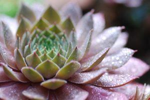 Lilafarbene Sukkulente mit Wassertrofen
