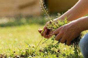 Frau sammelt Unkraut aus Rasen.