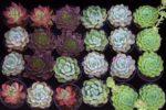 Viele verschiedene Jungpflanzen von Sukkulenten