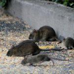 Vier Ratten in einem Garten