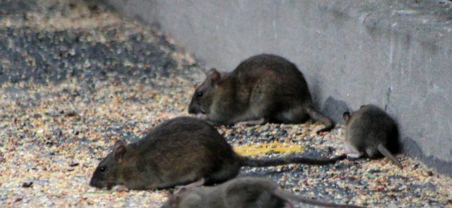 Ratten im Garten: Die besten Mittel um sie zu bekämpfen und zu vertreiben