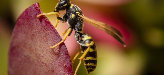 Wespen vertreiben: Mit diesen sieben Tricks werden Sie die Stechinsekten wieder los