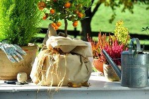 Kübelpflanze mit Frostschutz.